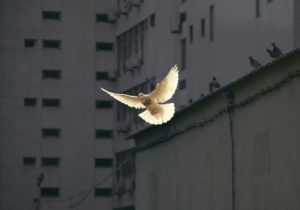 Photo of a dove in flight.